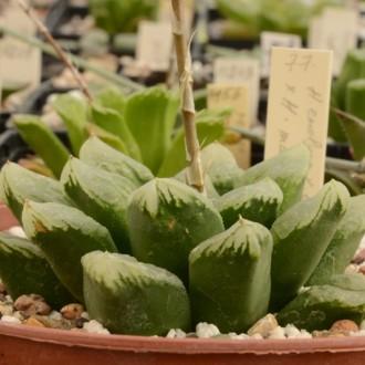 Haworthia comptoniana X Haworthia maughanii