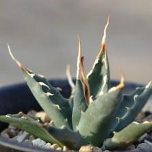 Agave utahensis v. eborispina