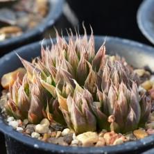 Haworthia maculata