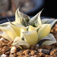 Haworthia magnifica variegated