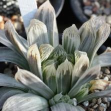 Haworthia cooperi variegated