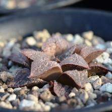 Haworthia cv.