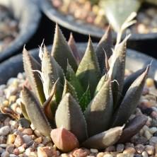 Haworthia variegata hybrid