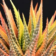 H. attenuata hybr. variegated