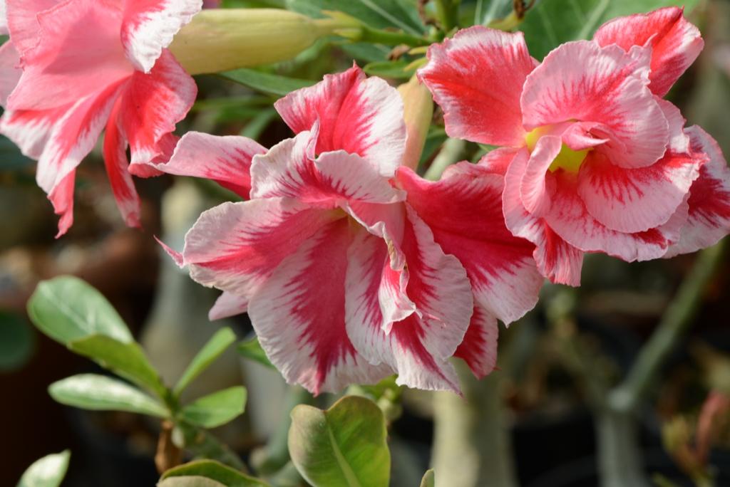 Адениум цветет Неповторимый сорт double santa claus