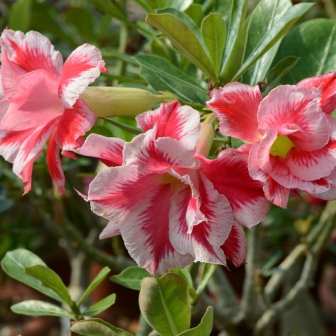 Адениум цветет - сорт Double Santa Claus