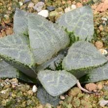 Хавортия (Haworthia cv. 'Akumu')