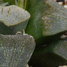 Хавортия (Haworthia cv 'Ashura')