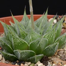 Хавортия (Haworthia Lace Queen)