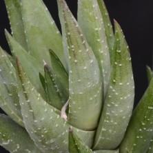 Хавортия коарктата (Haworthia coarctata)