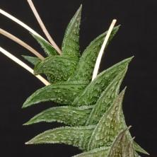Хавортия нигра (Haworthia nigra)