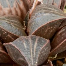 Хавортия мирабилис (Haworthia mirabilis var. badia)
