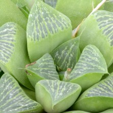 Хавортия (Haworthia geraldii JDV 87-5)