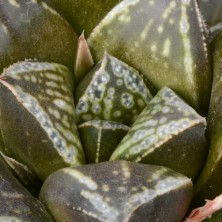 Хавортия (Haworthia cv. Kotohime)