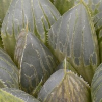 Haworthia windows