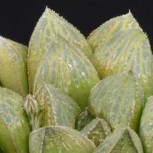 Хавортия (Haworthia splendens X Haworthia pygmaea)