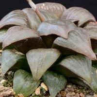 Хавортия атрофуска (Haworthia atrofusca)