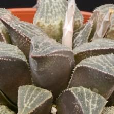 Японская Хавортия (Haworthia ex Japan)