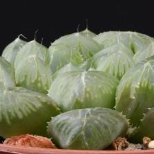Хавортия обтуза (Haworthia turu pika green)