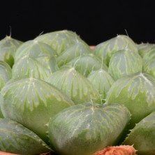 Хавортия фото - обтуза (Haworthia turu pika green)