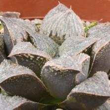 Хавортия емели (Haworthia emelyae hybrid)