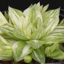 Хавортия (Haworthia cymbiformis variegata)