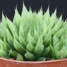 Хавортия (Haworthia cooperi var. priglei ISI 400)