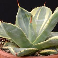 Вариегатная Агава (Agave parryi truncata variegata)