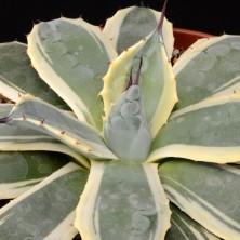 Агава вариегатная (Agave parryi variegata)