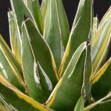 Вариегатная агава королевы Виктории (Agave victoriae-reginae variegata)