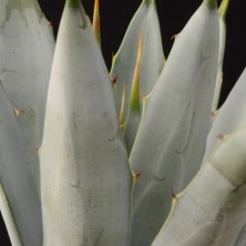 Агава макроаканта (Agave macroacantha)