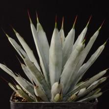 Агава фото (Agave macroacantha)