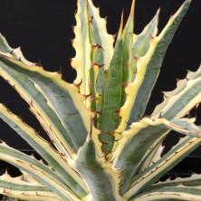Вариегатная Агава ксилонаканта (Ageve xylonacantha variegata)
