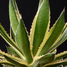 Агава (Agave lophantha 'quadricolor')