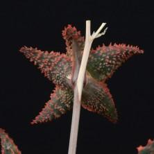Культивар Алоэ (Aloe cv. 'Cristmas Carol')