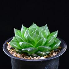 Haworthia semviva hybrid