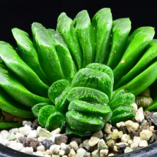 Haworthia truncata 'Lime Green'