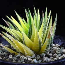 Haworthia reinwardtii variegated