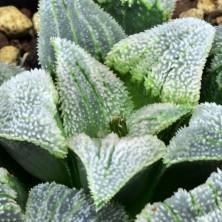 Haworthia pygmaea Super White