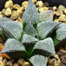 Haworthia mirabilis var. pilosa