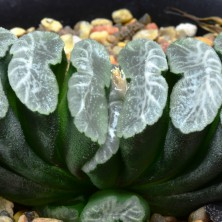 Haworthia truncata ex Japan