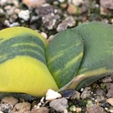 Вариегатная Гастерия армстронга (Gasteria armstrongii variegata)