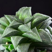 Haworthia tesselata x retusa hybrid
