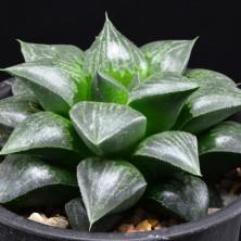 Haworthia comptoniana hybrid