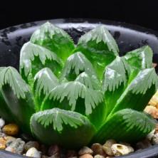 Haworthia maughanii hybrid