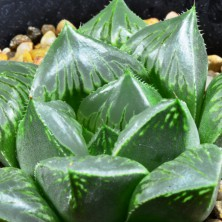 Haworthia obtusa hybrid