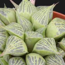 Хавортия (Haworthia magnifica v. acuminata)