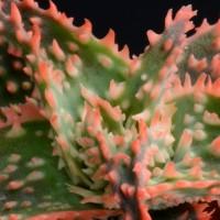 Aloe cv. Cristmas Carol