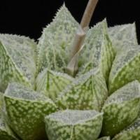 Хавортия Хосоюки (Haworthia cv. 'Hosoyuki')