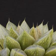 Хавортия Мурасаки (Haworthia obtusa cv. 'Murasaki')